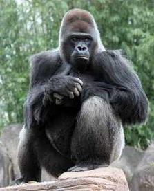 Gorilla / Silverback