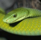 ...and deadly green mamba